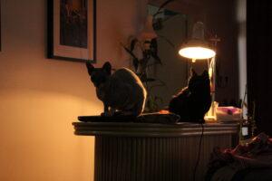 kissanpennut etsivät kotia